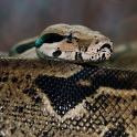 Boa v. közönséges óriáskígyó