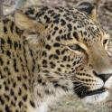 Perzsa leopárd