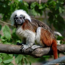 Liszt-majmocska