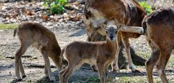 Muflonbárányok születtek