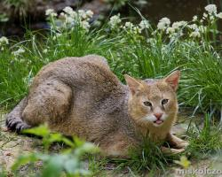 Mocsári macska