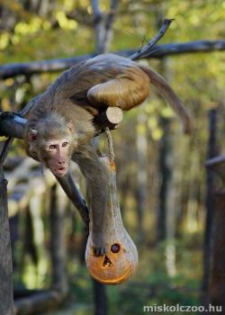 Rhesus-majom v. bunder