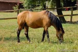 Házi ló
