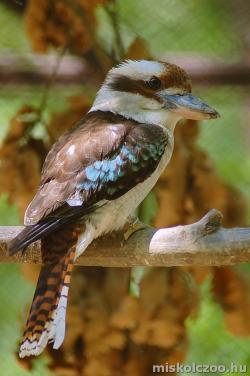 Kookaburra v. kacagójancsi