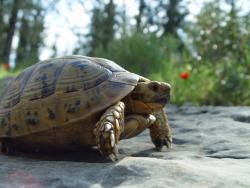 Mór teknős