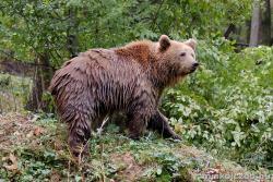 Európai barnamedve