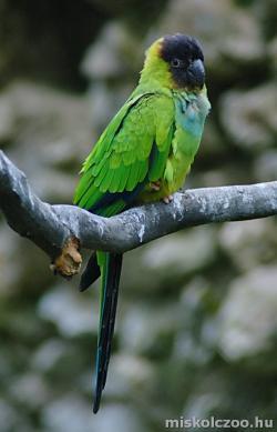 Nandaj-papagáj