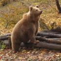 ESB - Európai barnamedve