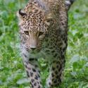 EEP - Perzsa leopárd