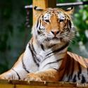 EEP - Szibériai tigris