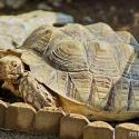 Sarkantyús teknős